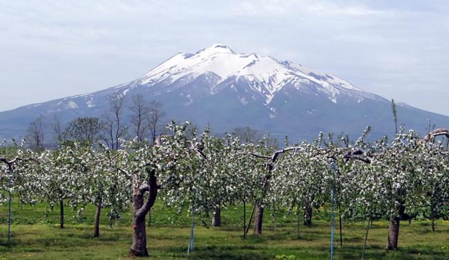 満開のリンゴの花と残雪の岩木山♪_a0136293_19104043.jpg