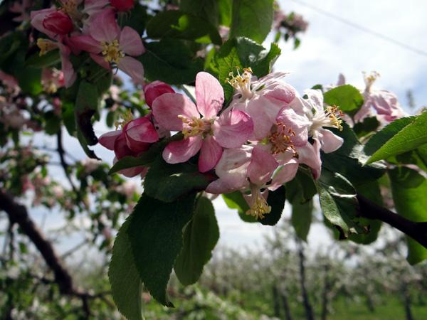 満開のリンゴの花と残雪の岩木山♪_a0136293_1921258.jpg