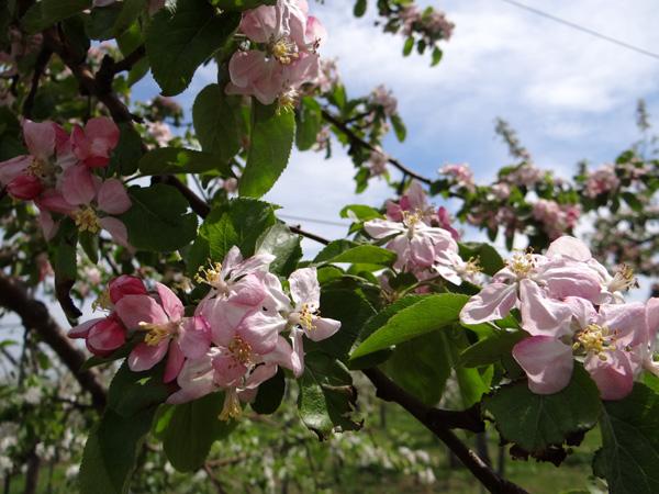 満開のリンゴの花と残雪の岩木山♪_a0136293_1922872.jpg