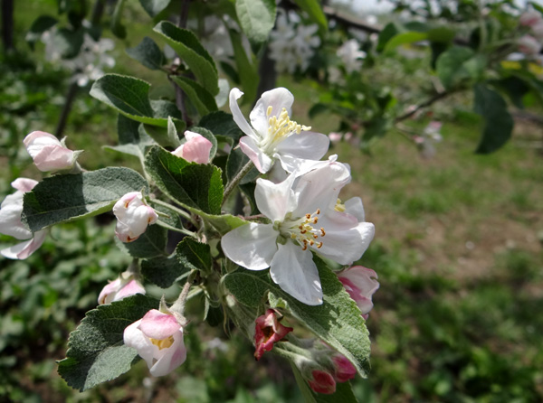 満開のリンゴの花と残雪の岩木山♪_a0136293_1942169.jpg