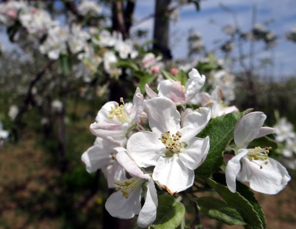 満開のリンゴの花と残雪の岩木山♪_a0136293_1943986.jpg