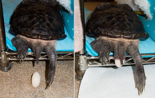 我が家のカメが卵を産んだ!_b0194208_0294615.jpg