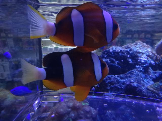 140514 海水魚・サンゴ・水草・金魚・淡水魚_f0189122_12421021.jpg