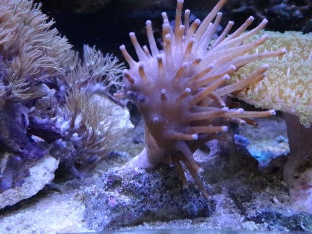 140514 海水魚・サンゴ・水草・金魚・淡水魚_f0189122_22423282.jpg