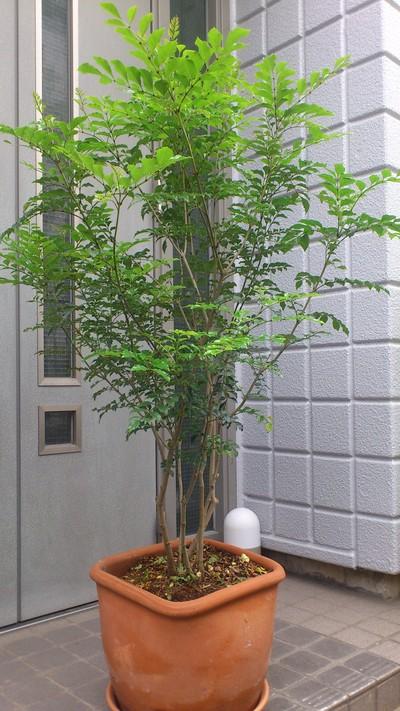 鉢植えは、庭木になるのか。 : b...
