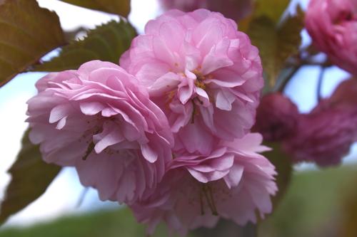 ほのかな香り~さくらせいろ 5月14日_f0113639_1656233.jpg