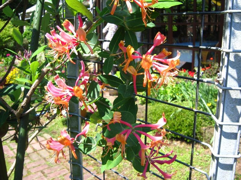初夏の庭の賑わい!!_a0208899_13272094.jpg