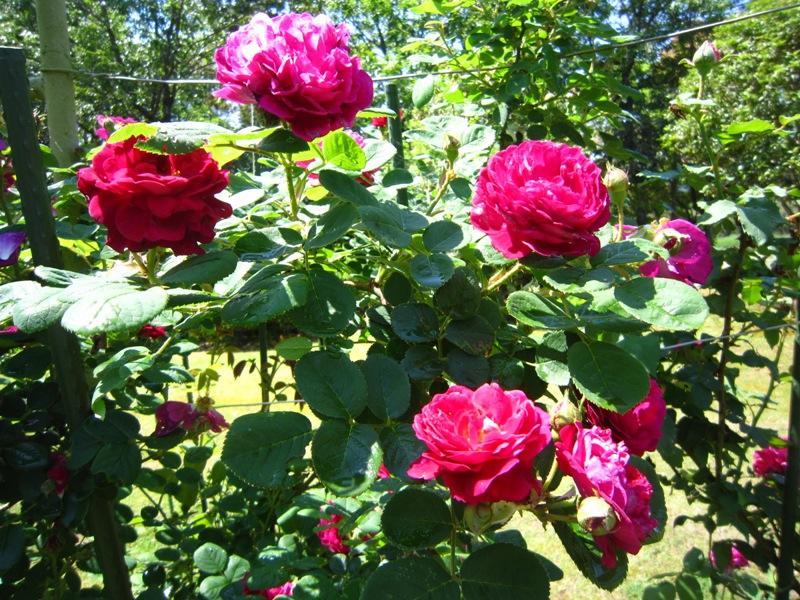 初夏の庭の賑わい!!_a0208899_1327230.jpg