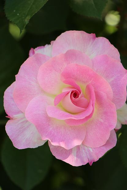 バラの季節_d0150720_16103743.jpg