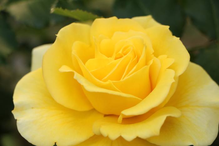 バラの季節_d0150720_16113231.jpg