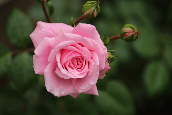 バラの季節_d0150720_1617520.jpg