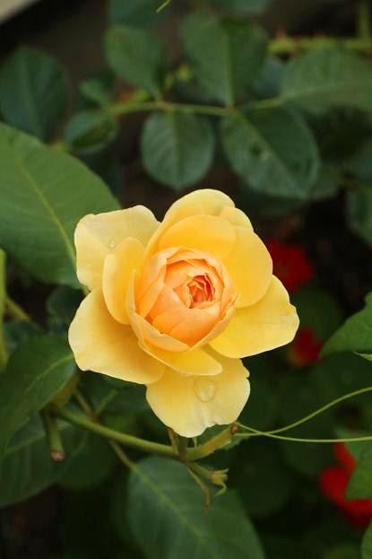 バラの季節_d0150720_16371181.jpg