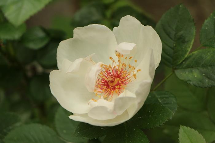 バラの季節_d0150720_1691932.jpg