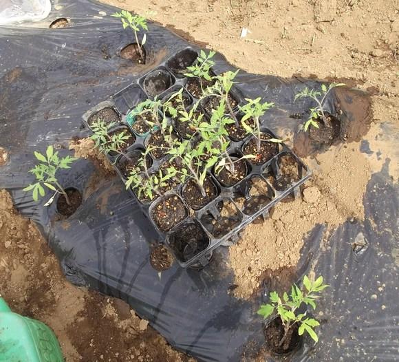 予定外ですが,,トマトの定植!_b0137932_14123118.jpg