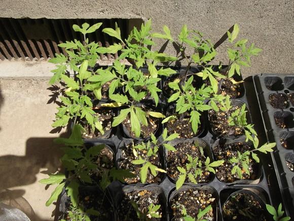 予定外ですが,,トマトの定植!_b0137932_14175214.jpg