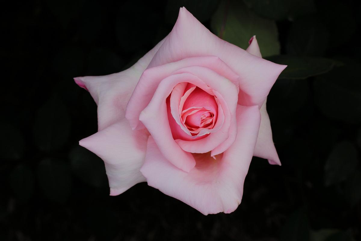 薔薇                 _f0021869_05517.jpg
