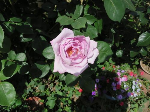 5月16日 薔薇_e0094102_1095971.jpg