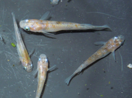 非透明鱗2色(紅白)・3色、去年の夏孵化の個体のレポ その1_e0097534_17215598.jpg