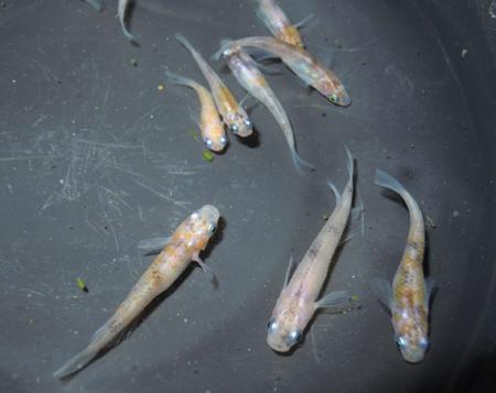 非透明鱗2色(紅白)・3色、去年の夏孵化の個体のレポ その1_e0097534_17221489.jpg