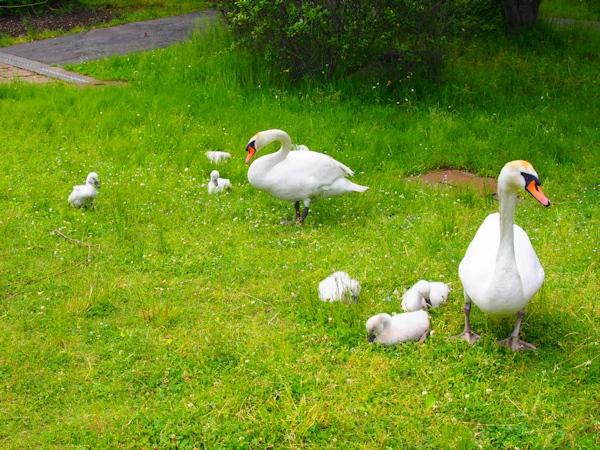 手賀沼に棲む水鳥たち 8_e0200879_15111394.jpg