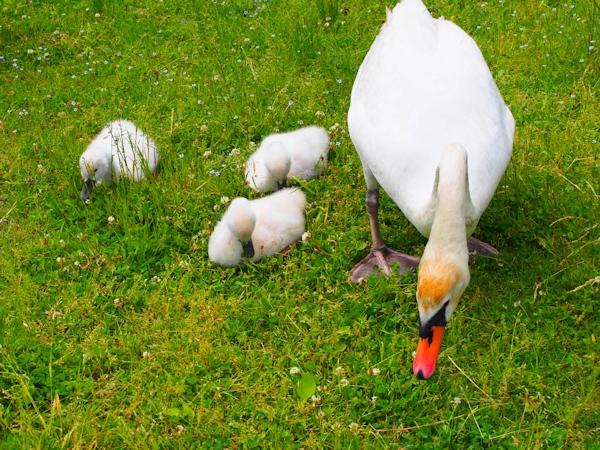 手賀沼に棲む水鳥たち 8_e0200879_15112967.jpg