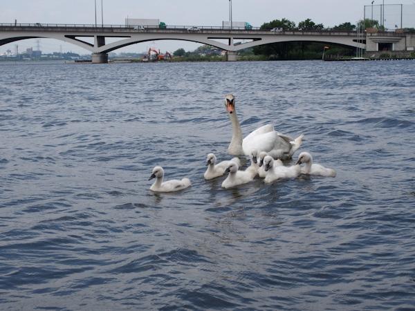 手賀沼に棲む水鳥たち 8_e0200879_15114991.jpg