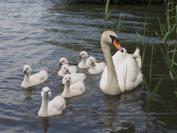 手賀沼に棲む水鳥たち 8_e0200879_1512054.jpg