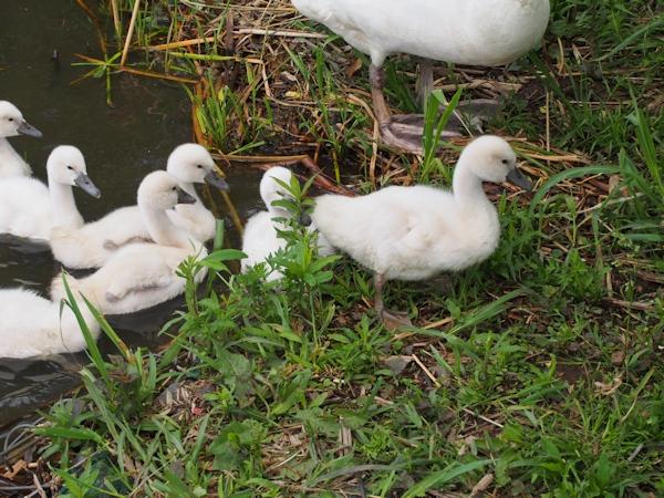 手賀沼に棲む水鳥たち 8_e0200879_15122652.jpg