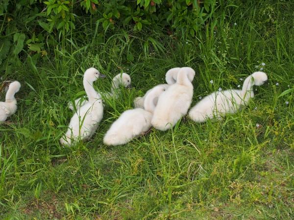 手賀沼に棲む水鳥たち 8_e0200879_15124810.jpg