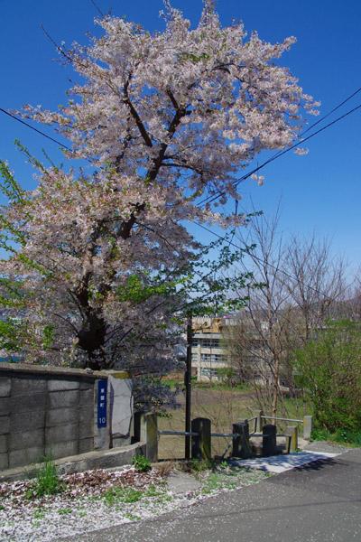 小樽桜めぐり 2014 #6_b0103798_4403067.jpg