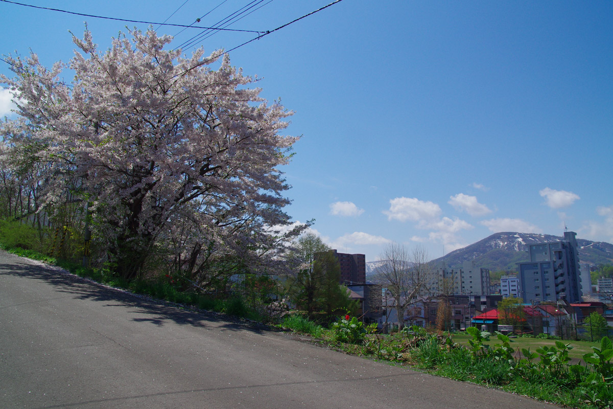 小樽桜めぐり 2014 #6_b0103798_4411342.jpg