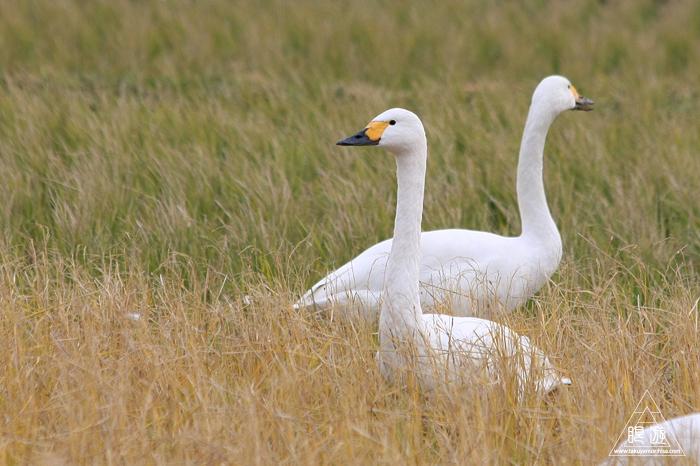 375 宍道湖西岸なぎさ公園 ~親父と鳥撮りその2~_c0211532_1726097.jpg