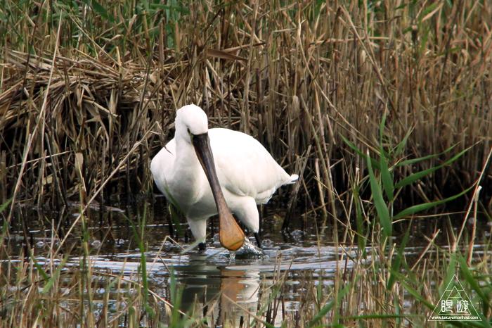 376 米子水鳥公園 ~親父と鳥撮りその3~_c0211532_21574325.jpg