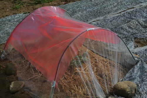 ピンク農法検証開始_c0063348_232091.jpg