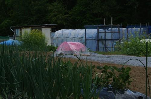 ピンク農法検証開始_c0063348_232245.jpg