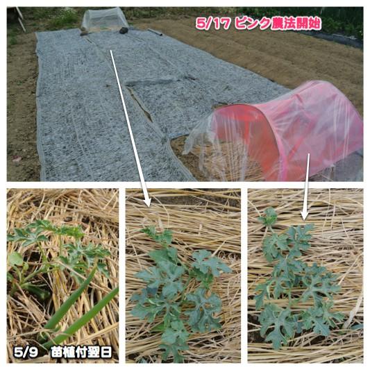 ピンク農法検証開始_c0063348_232456.jpg