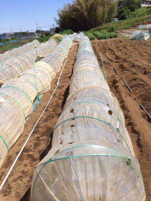 トマト定植してから1週間 トンネルを剥がし櫓を立てて行きます 2苗根切り虫にやられました_c0222448_16440930.jpg