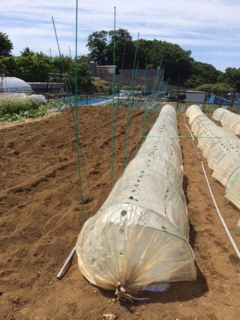 トマト定植してから1週間 トンネルを剥がし櫓を立てて行きます 2苗根切り虫にやられました_c0222448_16442120.jpg
