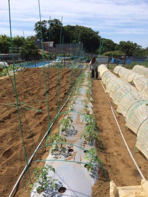 トマト定植してから1週間 トンネルを剥がし櫓を立てて行きます 2苗根切り虫にやられました_c0222448_16443462.jpg