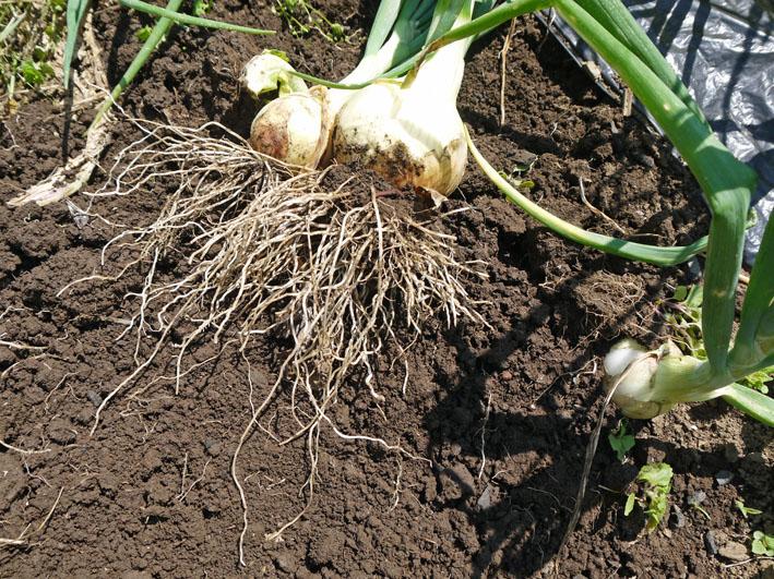 約30センチ、今年も長い根っこの玉ねぎを初収穫5・16_c0014967_6283130.jpg
