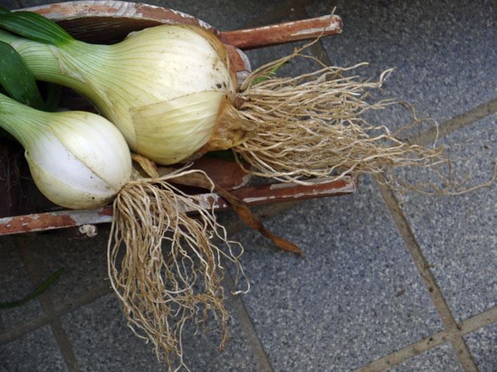 約30センチ、今年も長い根っこの玉ねぎを初収穫5・16_c0014967_6291735.jpg