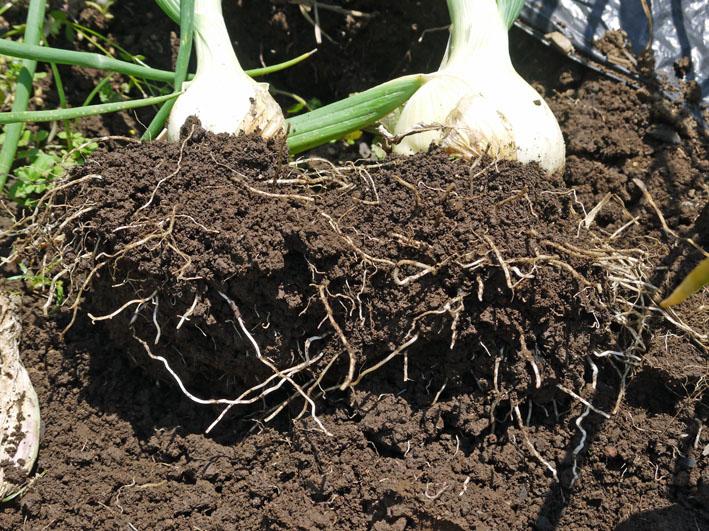 約30センチ、今年も長い根っこの玉ねぎを初収穫5・16_c0014967_6323791.jpg