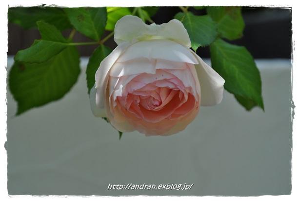 バラが開花しました_c0176271_2338478.jpg