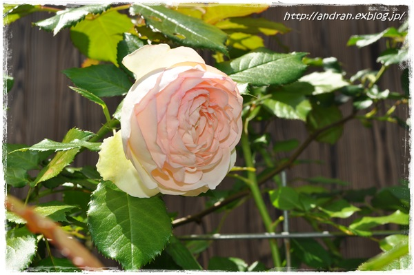 バラが開花しました_c0176271_23385498.jpg