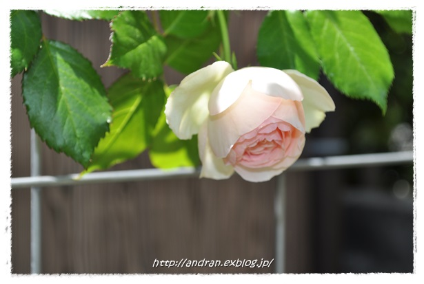 バラが開花しました_c0176271_2339129.jpg