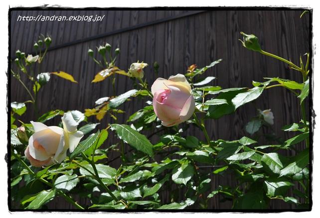 バラが開花しました_c0176271_2339319.jpg