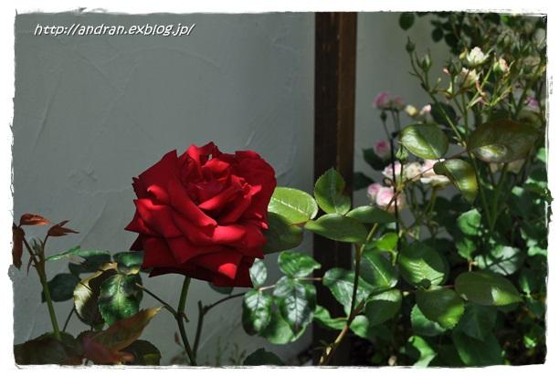 バラが開花しました_c0176271_23394875.jpg