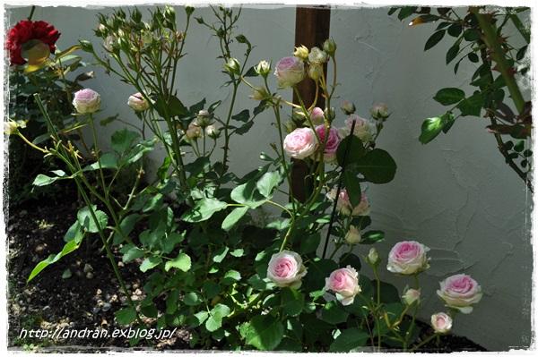 バラが開花しました_c0176271_23402055.jpg