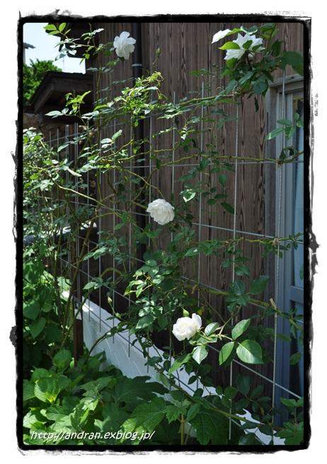 バラが開花しました_c0176271_23405157.jpg