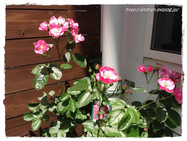 バラが開花しました_c0176271_23412487.jpg